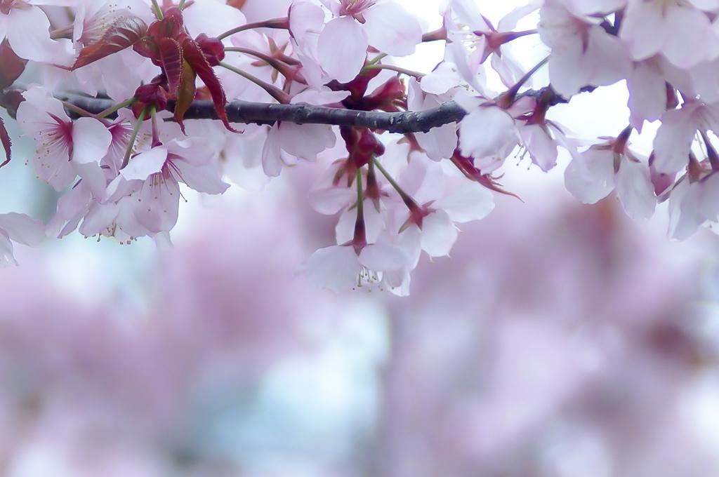 オールドレンズ桜1