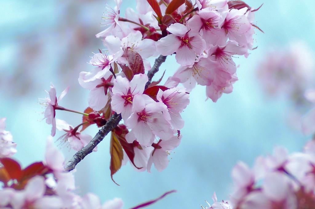 オールドレンズ桜2