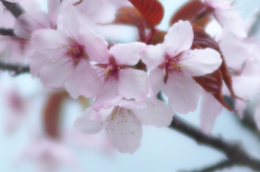 オールドレンズ桜3