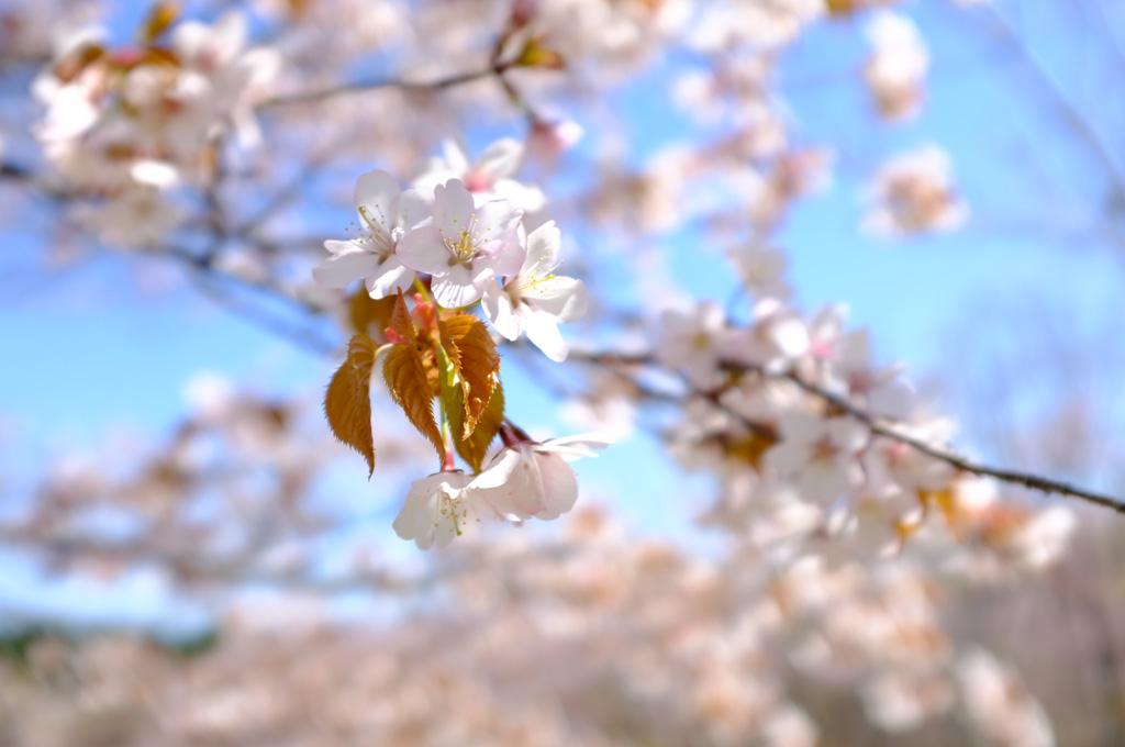 青空と桜3