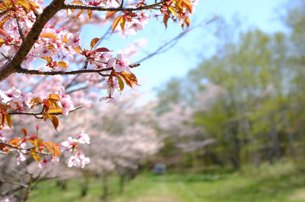 青空と桜5