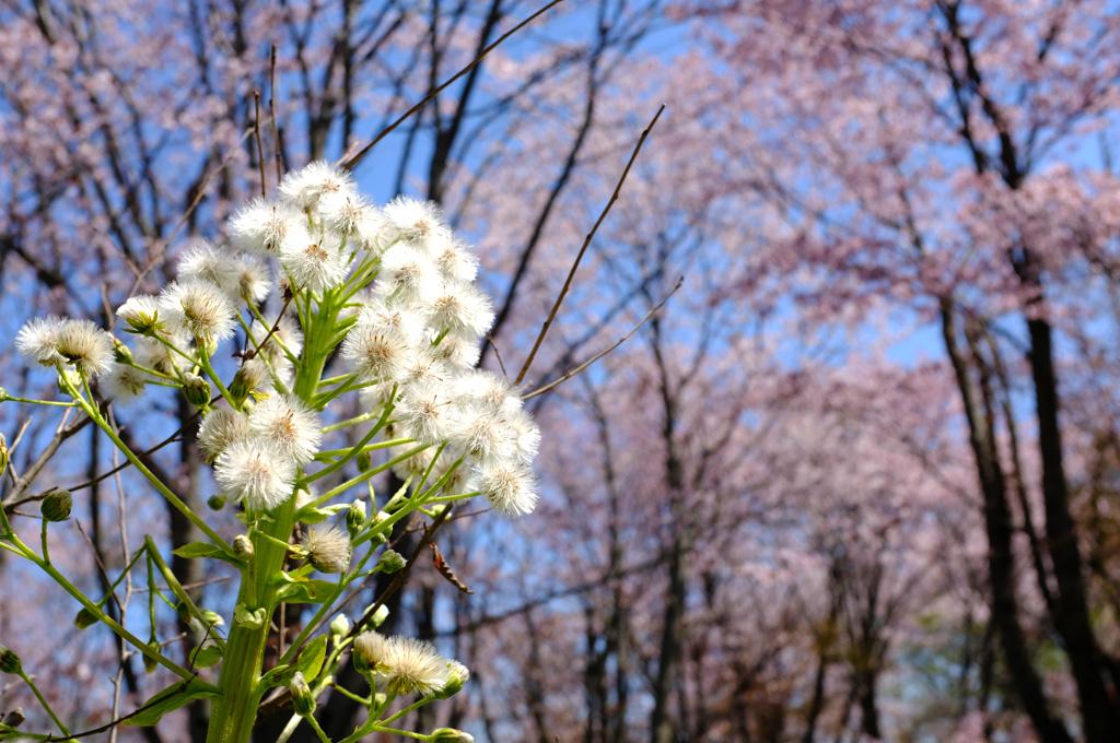 青空と桜6