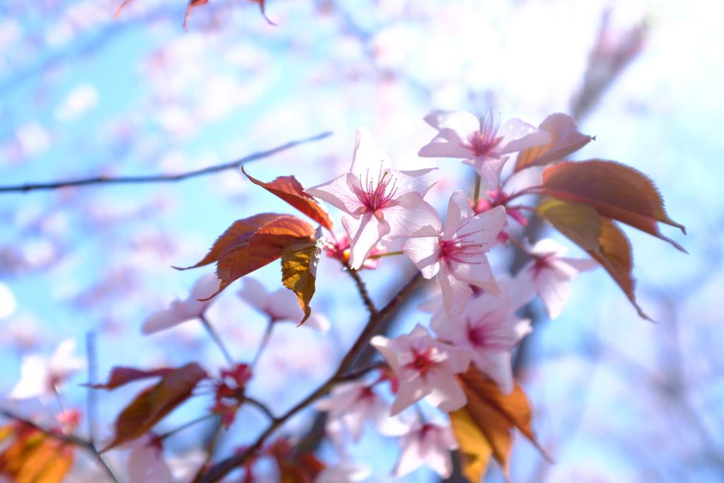 青空と桜1