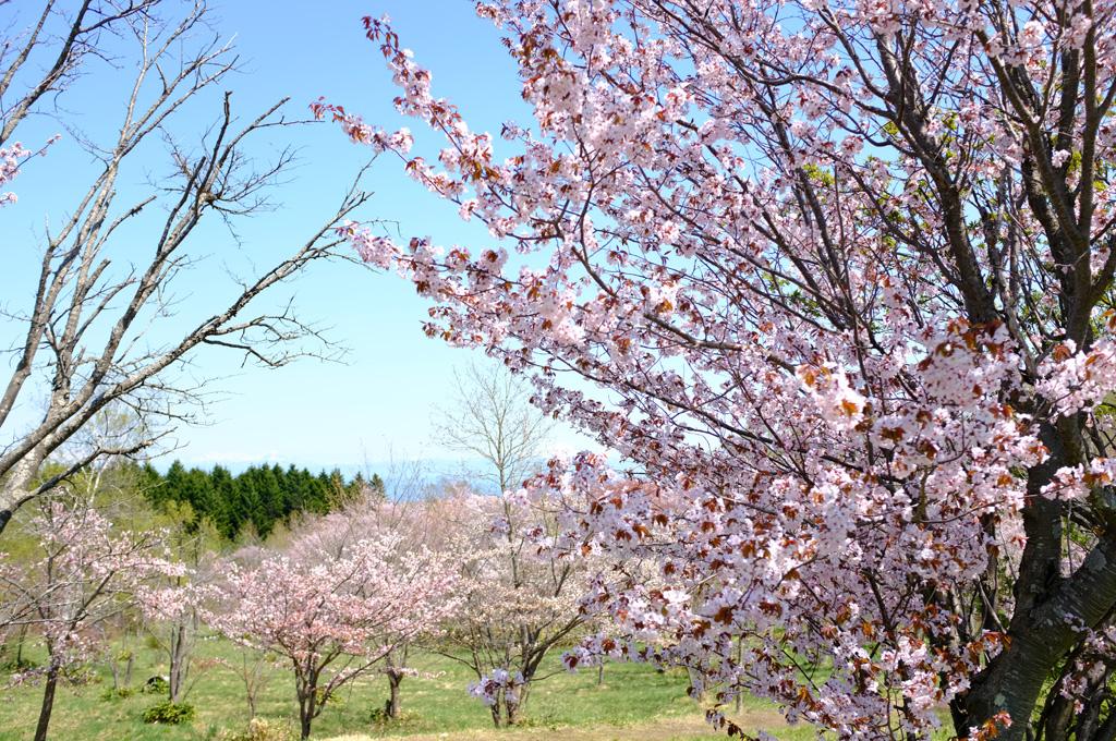 青空と桜4
