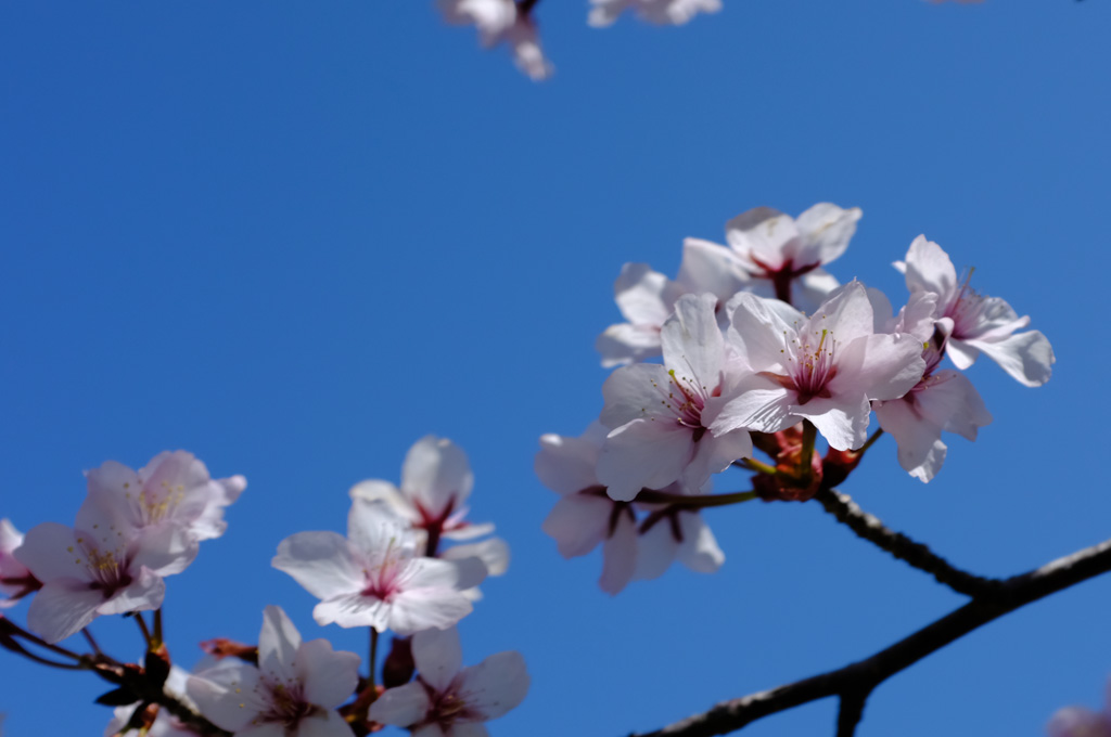 青空と桜7
