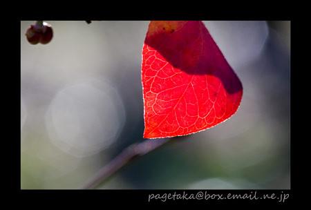 [小鳥の森][岡山市竹原][ブルーベリー][ポストカード][葉]
