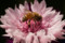 [矢車草][蜜蜂]