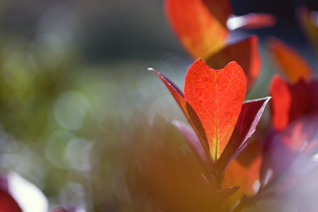 [ブルーベリー][紅葉][秋][おかやまファーマーズ]