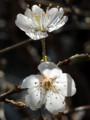 [2012年3月21日][桜][花びら]