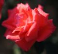 [バラ][スーパースター][1960年][ドイツ作出][super star][トロピカーナ][四季咲き][半剣弁咲き]