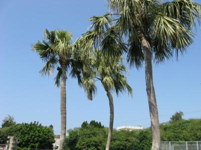 ココナッツがなる木