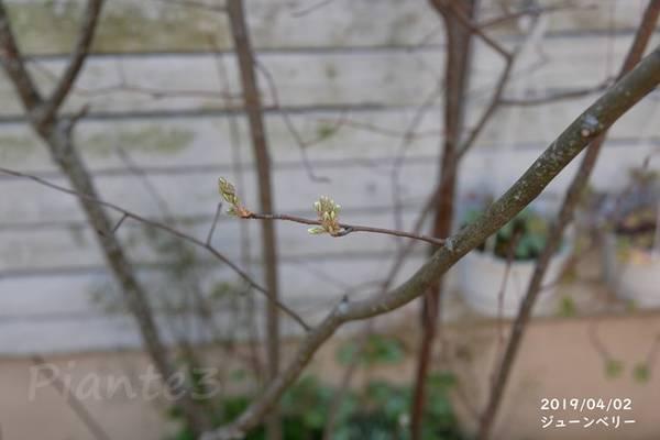 ジュンベリーの新芽