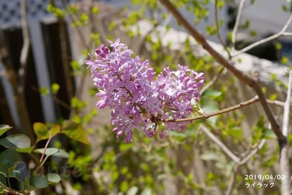 庭で咲くライラックの紫の花