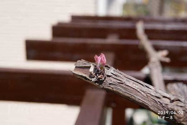 パーゴラの上で芽吹く葡萄の新芽