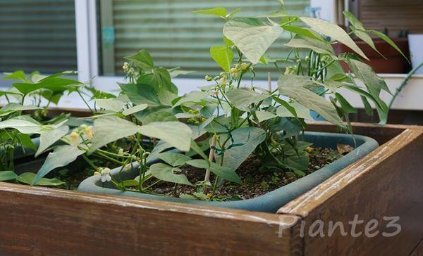 プランターで栽培しているインゲン豆