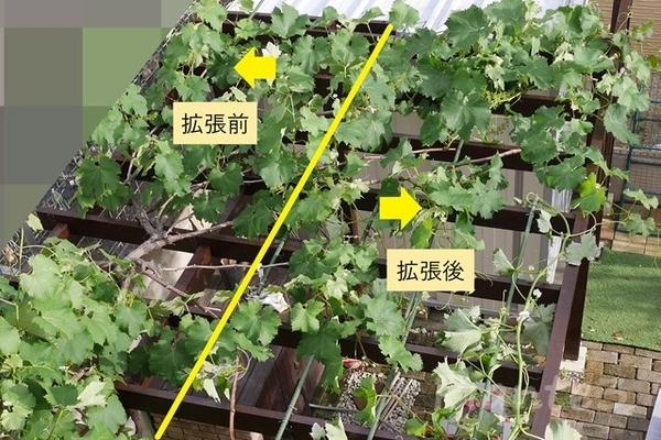 葡萄のパーゴラを拡張した写真