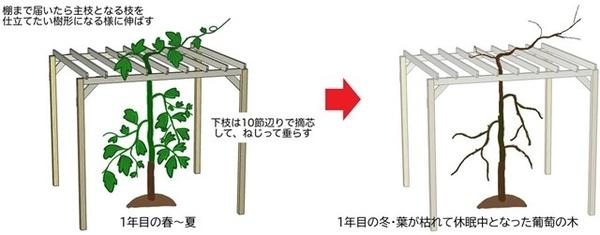 葡萄の木の植え付け1年目の成長イラスト