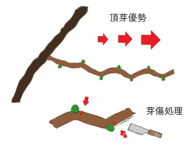 頂芽優勢と芽傷処理のイラスト