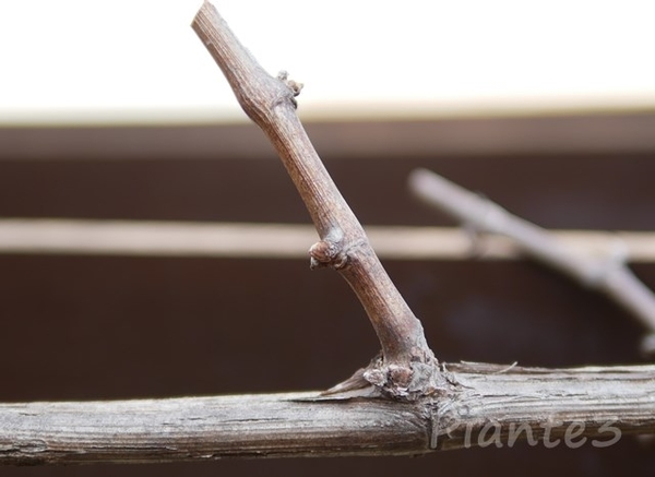 ピオーネ短梢剪定した枝の写真
