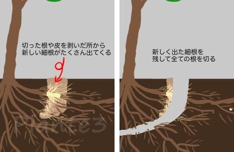 根回しで根を切ったその後のイラスト