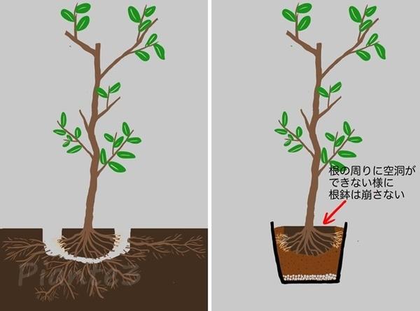 根回し後に地植えから鉢植えへのイラスト