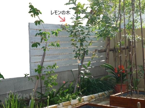 レモンの木植え付け1~2年後の写真