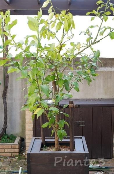 レモンの木の鉢植えの写真