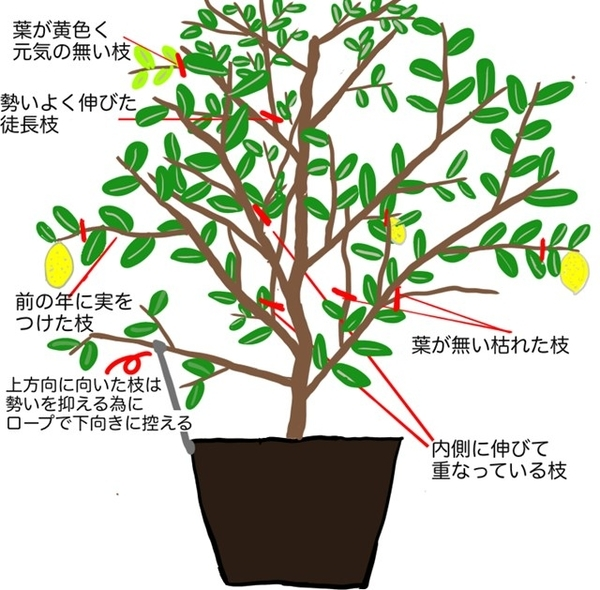 レモンの木の剪定イラスト