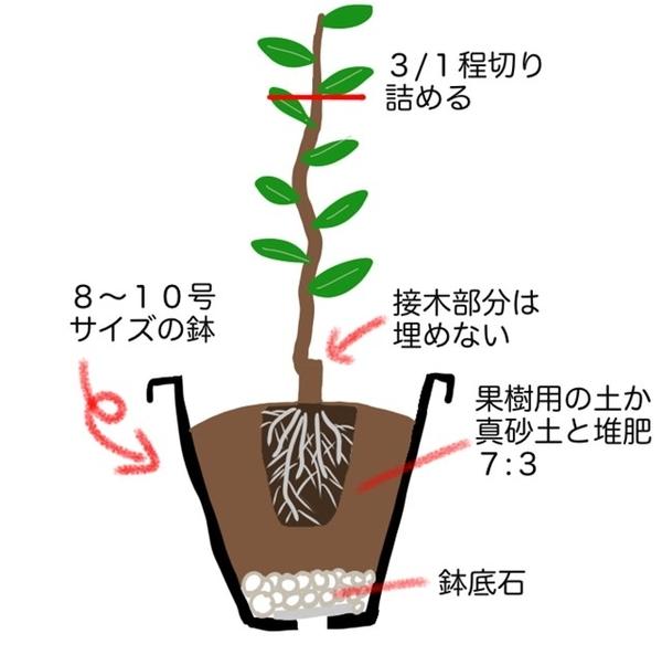 レモンの苗木の鉢植えイラスt