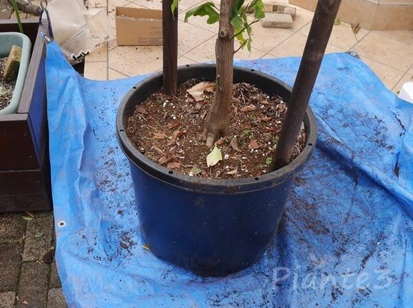 レモンの木の鉢植え