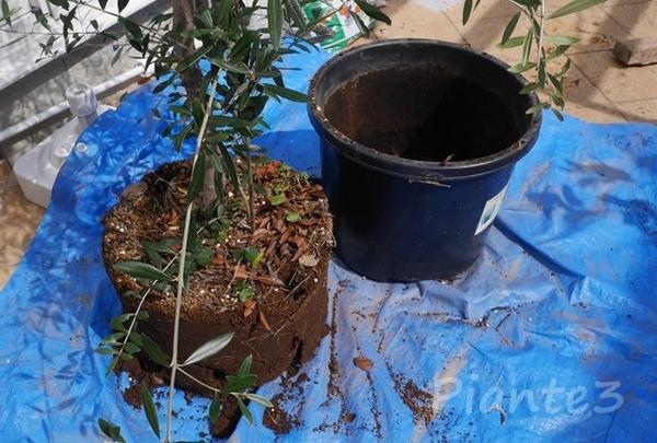 オリーブの木をNPポットから出した写真