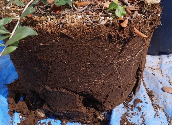 オリーブの根鉢