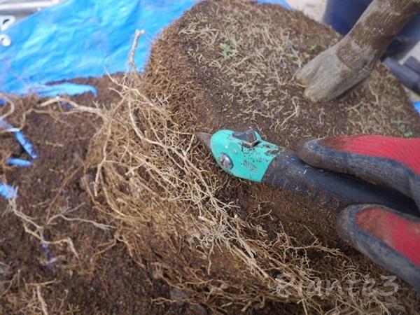 根鉢をノコギリでカットしている写真