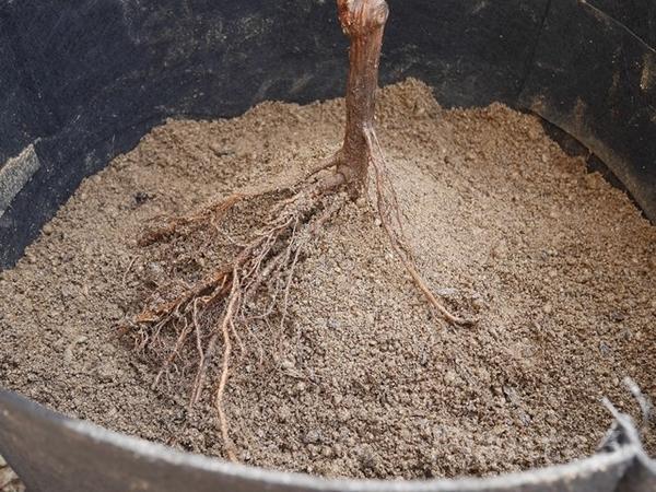 ぶどうの苗木の植え方