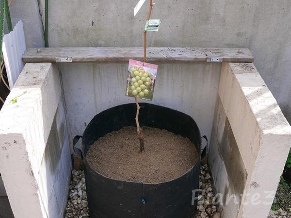 ぶどうの苗木の植え付け