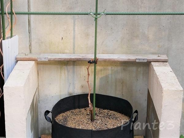 ルートバックへぶどうの苗木の植え付け