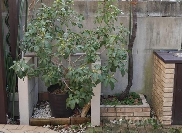 銀木犀の鉢植え