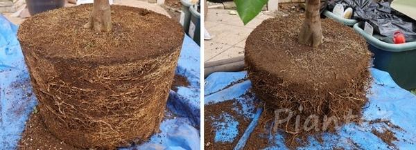 根をカットして一回り小さくなったレモンの根鉢