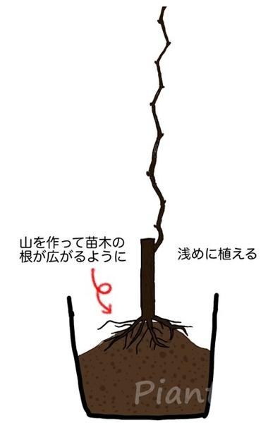 ぶどうの苗木を植え方