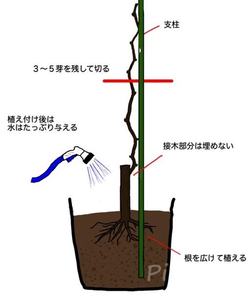 ぶどうの苗木の鉢植えの仕方イラスト