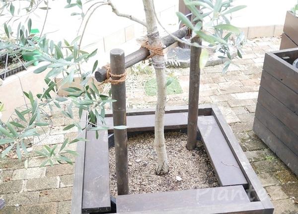 オリーブの木の添え木