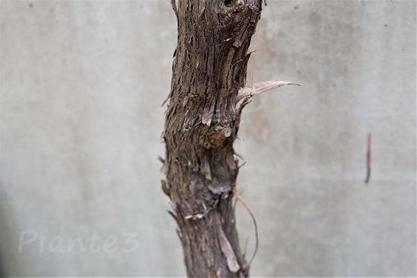 ピオーネの古くなって剝がれてきた樹皮