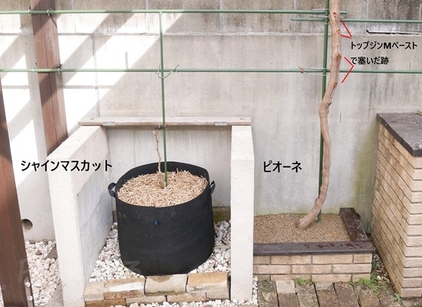 庭のシャインマスカットの鉢植えと地植えのピオーネ