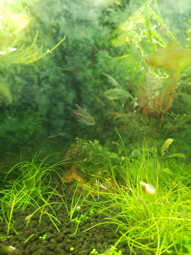 f:id:Pterophyllum_altum:20170829104903j:plain