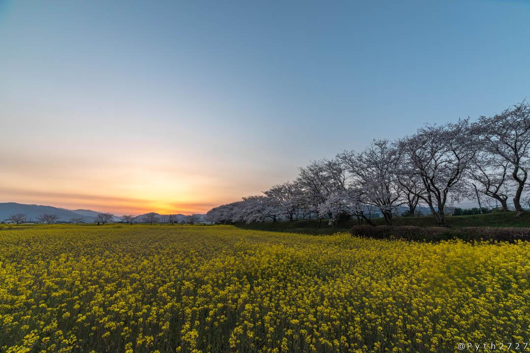 奈良県藤原宮跡の桜と菜の花と日の出