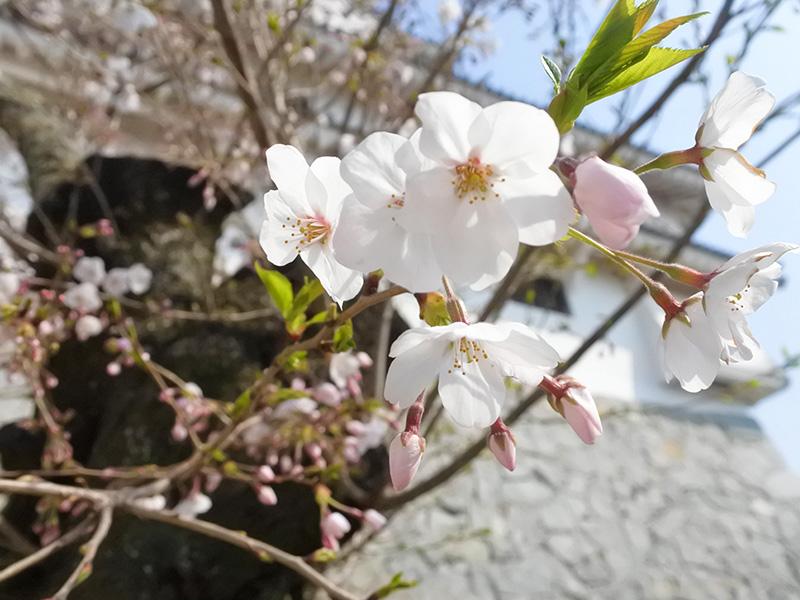 ユーリ 唐津 YOI 唐津城 桜