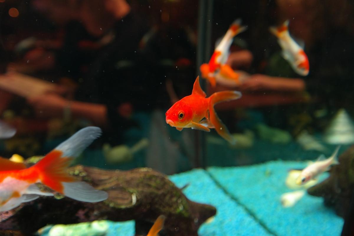 金魚 水槽 コメット