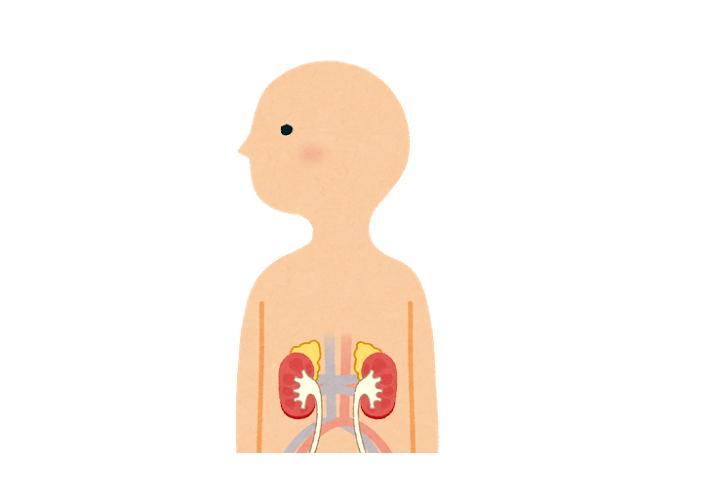 ステロイドホルモンは腎臓の上の副腎から放出される