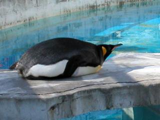 オウサマペンギン甲羅干し中。