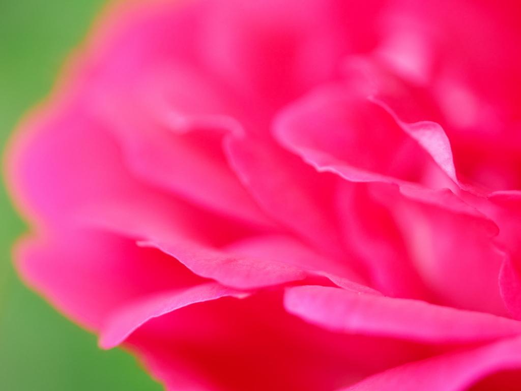 LEICA MACRO 45mm   作例   若き薔薇   まとめ記事